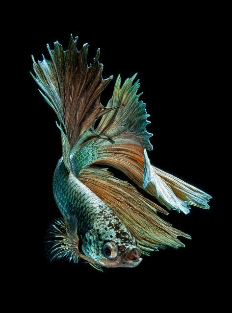151 Best Siamese Fighting Fish Images On Pinterest Betta