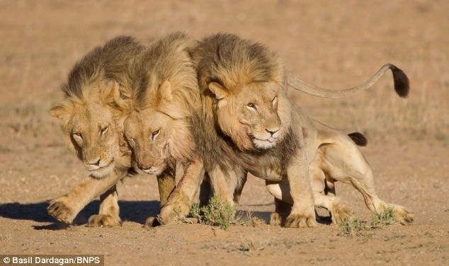 Three young male lions play together.