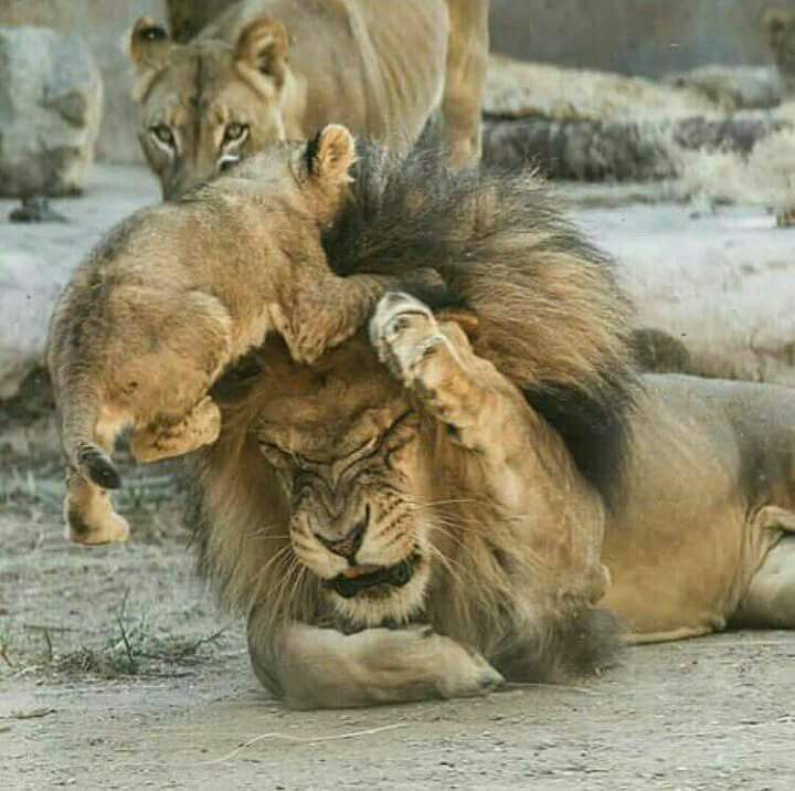 Baby getting on dads nerves #BigCatFamily