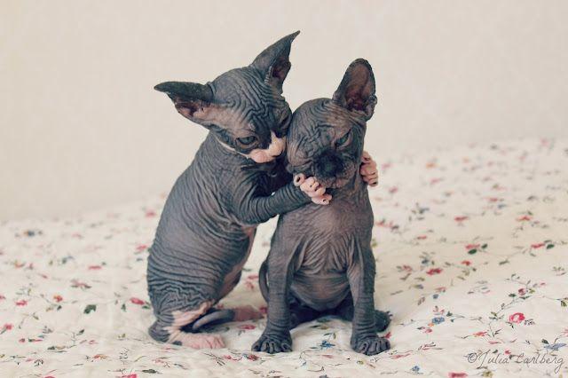 hairless kitten love!