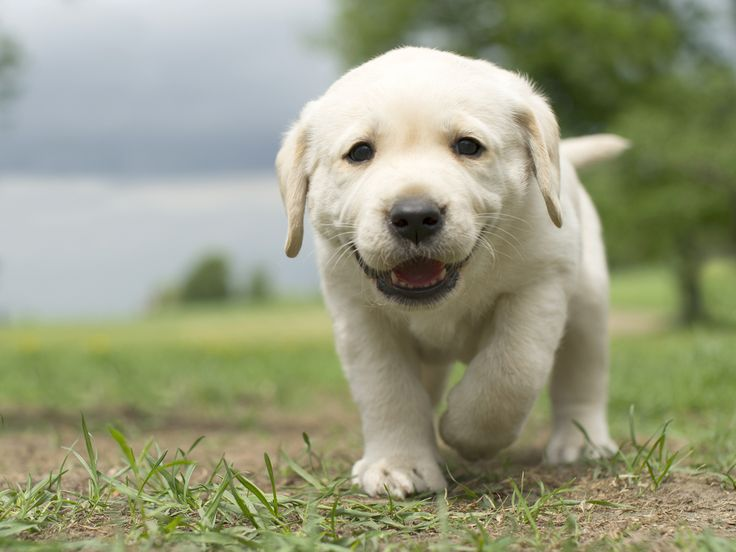 Labrador Puppy! http://www.localpuppybreeders.com/labrador-dog-breed-information/