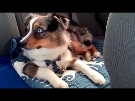 """An Australian Shepherd puppy, named Oakley, howls (or sings) along to his favorite song, """"Let it Go"""" from the Disney movie Frozen!"""