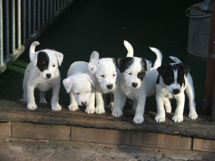 Parson Russell Terrier Puppieessss!!!