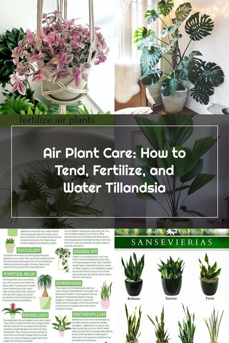 How to tend, fertilize, and water Tillandsia with these