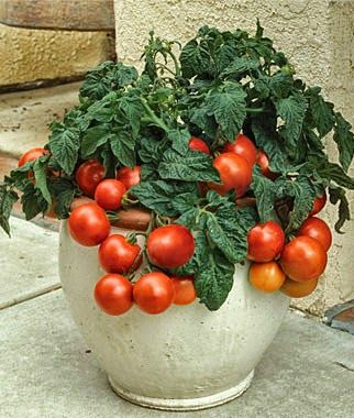 Organic Gardens Network™:  10 Best Tomatoes for Containers ~ Photo by Veggiegardener.com ~Urban dwellers can be very successful growing tomatoes in containers. With the right container set-up, just about any variety of tomato will thrive. Determinate tomato types usually work the best for containers because ... >>> http://organicgardensnetwork.blogspot.gr/2014/04/9-pinteresting-container-garden-tips.html