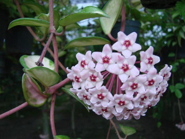 Viaszvirág gondozása