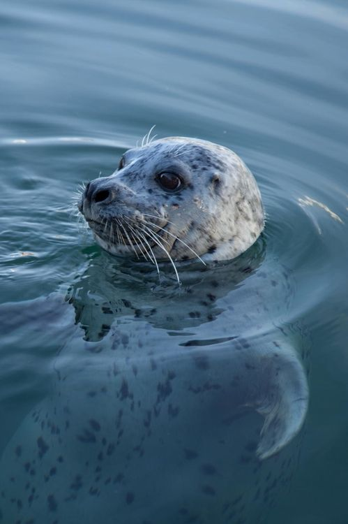 0ce4n-g0d:  Harbour Seal|Katt Talsma