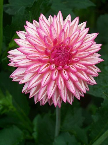 "Dahlia ""Valley Porcupine""  (I've never been able to grow dahlias. I've always heard they were hard to grow... but lovely to look at.)"