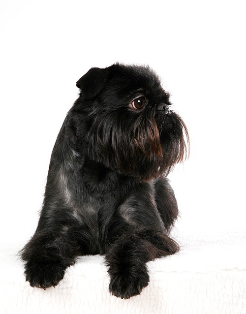 Brussels Griffon Dog Show Winner >> 26 best images about Brussels Griffon on Pinterest   Westminster dog show, Best dog breeds and Pets