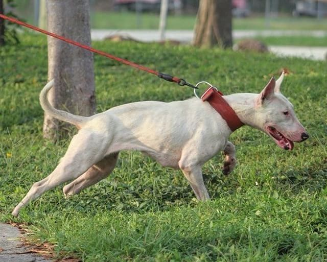English Bull Terrier Miranda Bullz Tag Conditioneddogs To Be Featured Conditioneddogs Fitdog Fi Bull Terrier Working Dogs American Pitbull Terrier