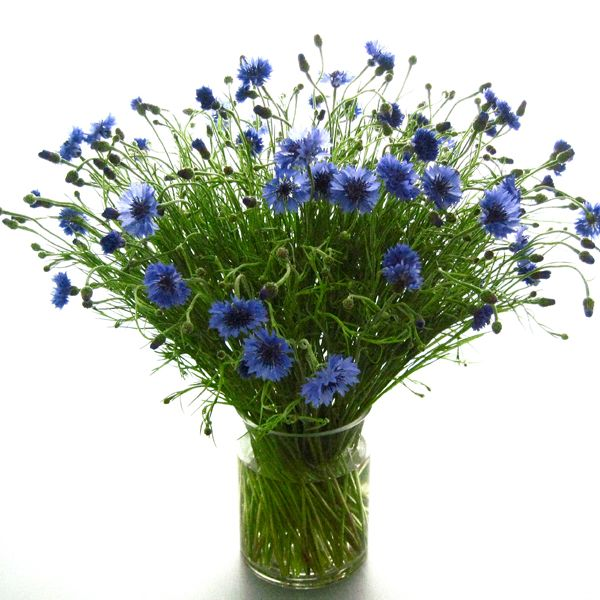 best  cornflower flower photos ideas on   cornflower, Beautiful flower