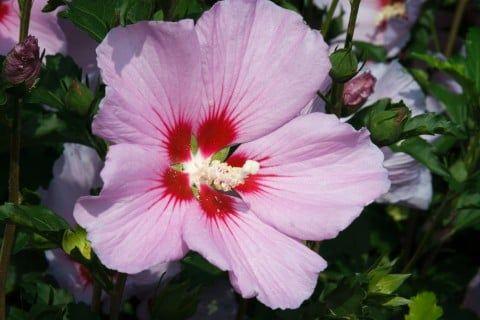 ムクゲ 木槿 花 アップ ピンク 一重