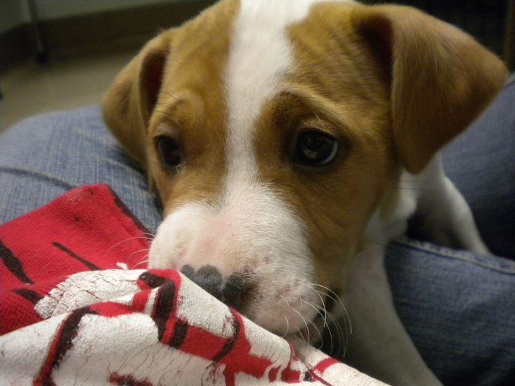 Pit Bull Puppies - Pesquisa Google