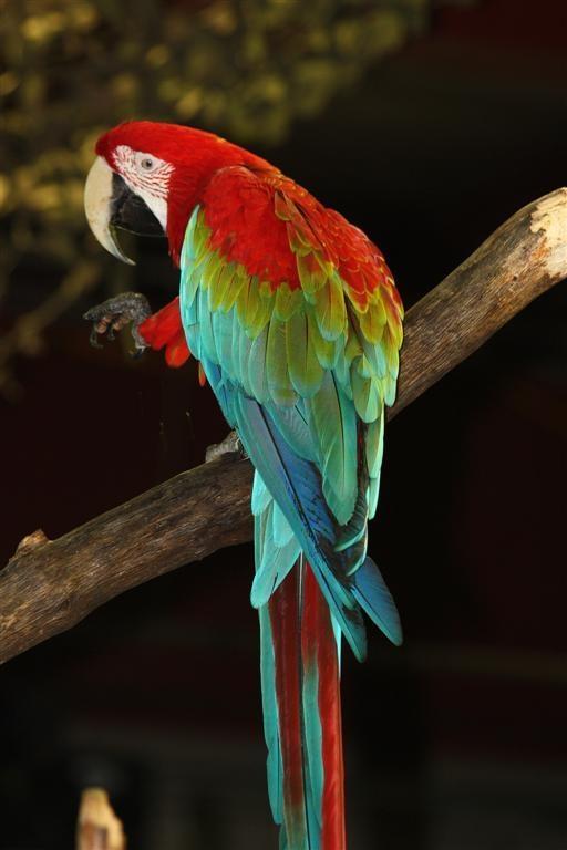 scarlet macaw birds high - photo #19