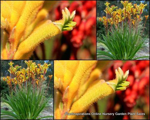 Kangaroo Paw Yellow Gem x 7 Native Plants Anigozanthos Garden Flower Grass Paws $30.00