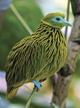 Golden Fruit Dove endemic to the Fiji Islands...