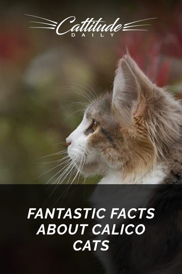 Feline 411 All About Calico Cats Cat Facts Calico Cat Facts Calico Cat