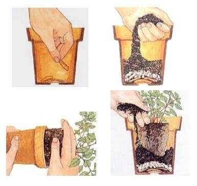 Rinvaso - La coltivazione in vaso delle piante - Come curare e coltivare le piante: i rinvasi