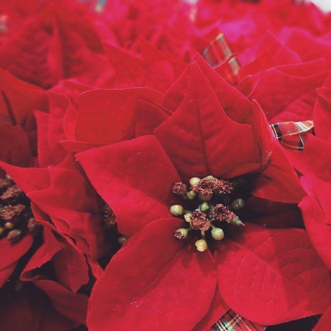Gwiazda betlejemska  czym jest i jak ją pielęgnować? http://buff.ly/2gS2ZaR  #poisenttia #poisencja #gwiazdabetlejemska #święta #bozenarodzenie #gwiazdka #wogrodzienajlepiej