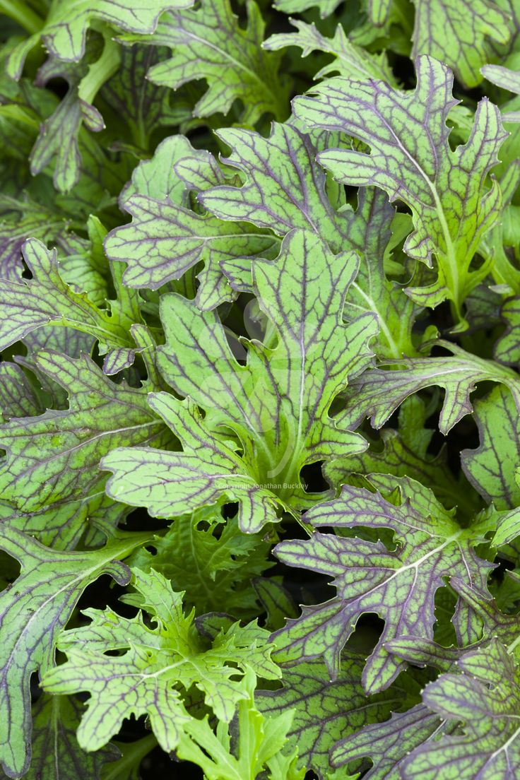 Three handsome-looking mustard leaves. Slow to bolt, delicious flavour, ideal for direct sowing almost all year. Contains Mustards 'Red Dragon', 'Red Lace' and 'Green Fire'.