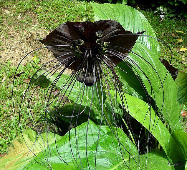 Çinli Siyah Yarasa Çiçeği (Chinese Black Batflower)
