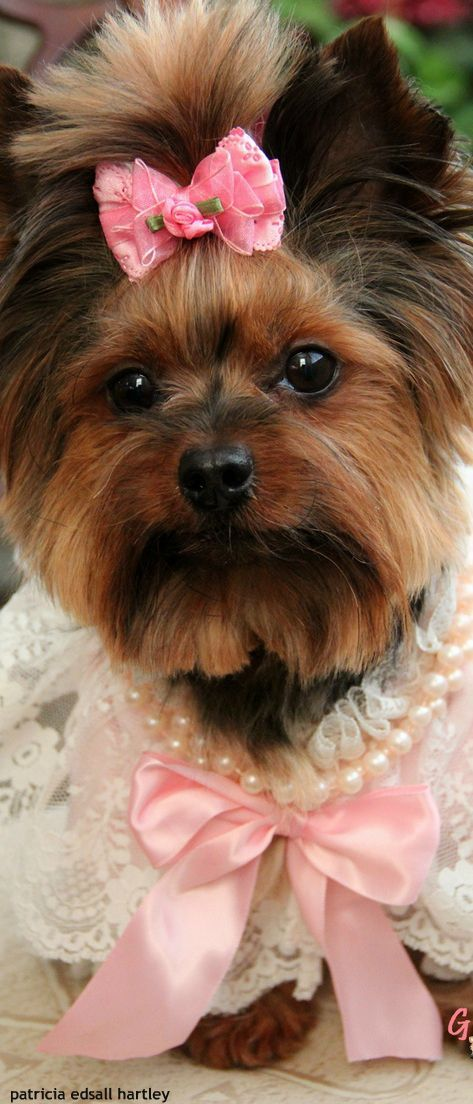 where can i buy a teacup yorkie 198 best images about grooming yorkshire on pinterest 7105
