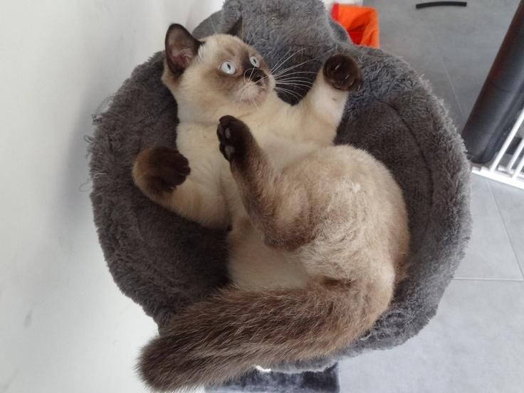 Seal point british shorthair   British Shorthair cats ...