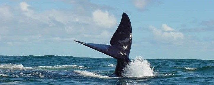 Whale wave off the coast of De Kelders, South Africa via Ivanhoe Sea Safaris