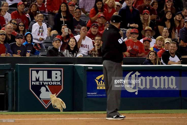 Umpire Cory Blaser looks on as a cat runs onto the field during the fourth inning of a baseball game between the Los Angeles Angels of Anaheim and the St. Louis Cardinals at Angel Stadium of Anaheim on May 12, 2016 in Anaheim, California.