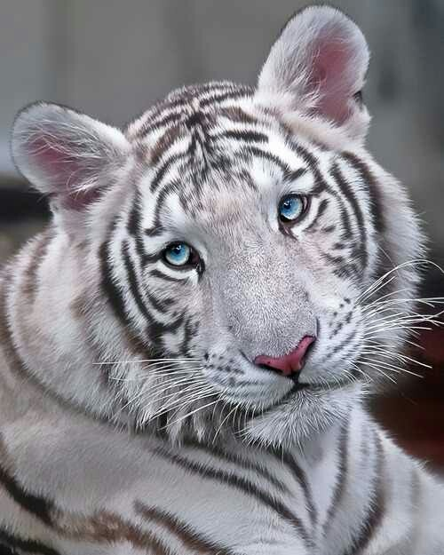 White Tiger, Ren from the book series Tigers Curse