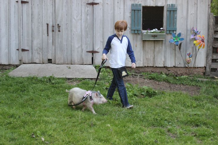 Leash training your mini pig
