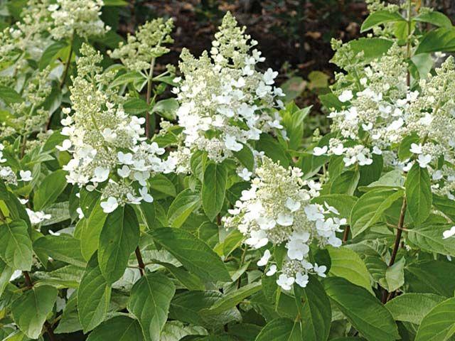 Les plus beaux arbustes de l'été : l'hydrangea paniculata - Hydrangea paniculata 'Tardiva'