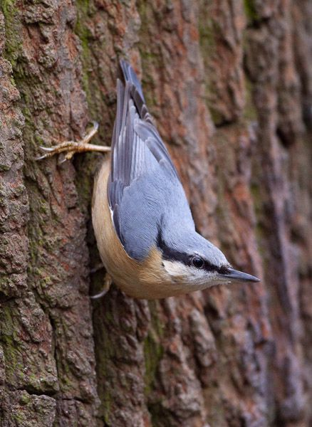 Rose-breasted Nuthatch. I love these little guys. They nearly always feed (especially at the suet feeder) while perched upside down!