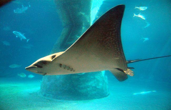Superorder Batoidea Rays