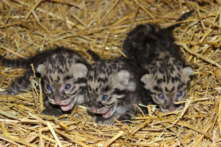 Exciting news: five Clouded Leopard cubs have been born at Parken Zoo in Sweden!  See photos and video at at ZooBorns: http://www.zooborns.com/zooborns/2014/04/clouded-leopard-parken-zoo.html#more
