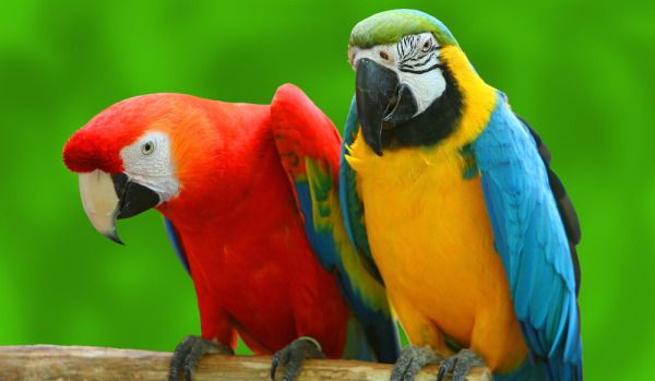 a scarlet macaw and a blue and gold macaw. Scarlets are different from greenwings in that they have no facial feathers and wing colors have yellow. Green wings have facial feathers, and blue and green on their wings.