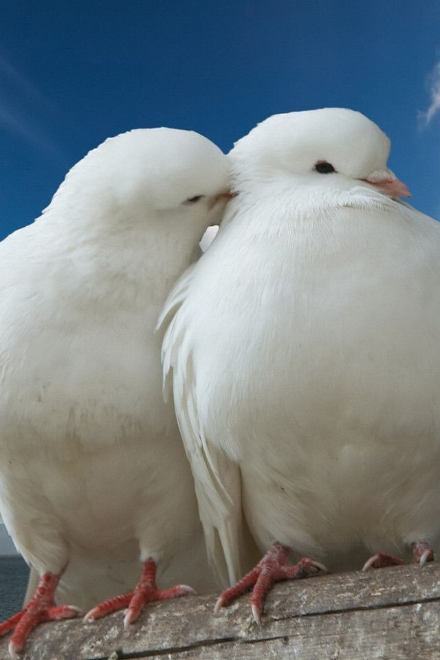 Love Dove Beautiful Wallpaper : 34 best My Homing Pigeons and Loft images on Pinterest Homing pigeons, Pigeon loft and chicken ...