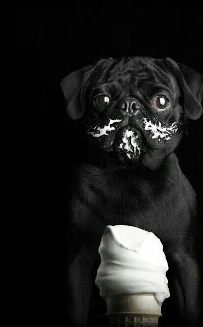 I actually have this picture in my living room.  Two of my favorite things...pugs & ice cream <3