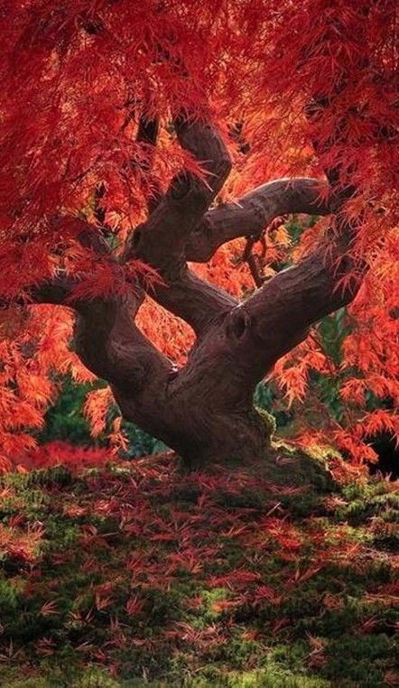 Dragon tree (120-year-old Japanese maple) at the Portland Japanese Garden in Oregon • photo: Jeremy Cram on WhyTake