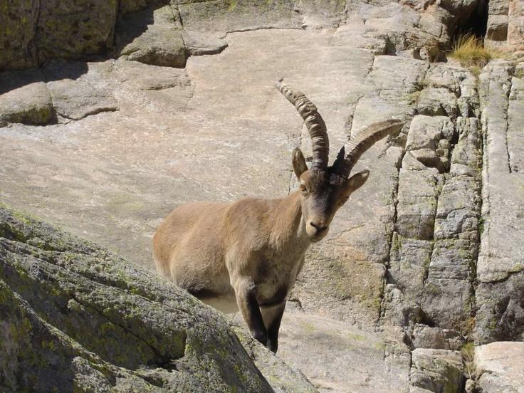 Los habitantes de la Sierra de Gredos Foto: Reserva de Gredos