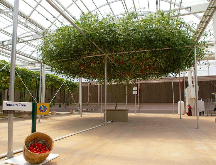 the tomato trees that are in Disney World Florida - Bing Images