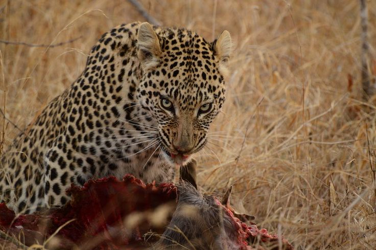 Leopard Look! Leopard of Kapama Private Game Reserve