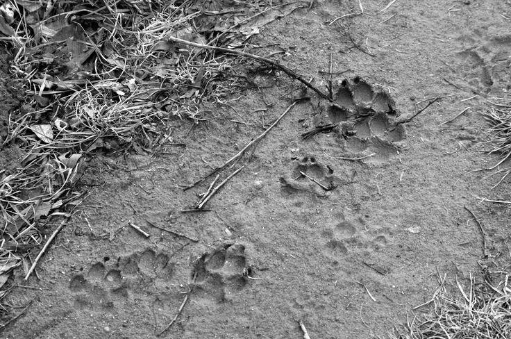 stopa psí