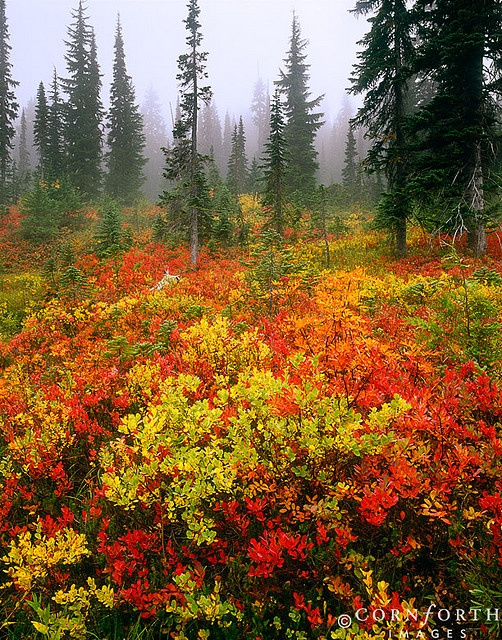 Fall Colors on a Cloudy Morning. Mt. Rainier - Washington