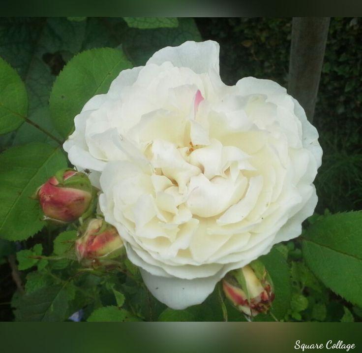 Rosa Winchester Carthedral: Hebben we in 2010 aangeplant,  in de kruidentuin.  Deze doorbloeiende Engels struikroos heeft witte bloemen, met mooie knoppen.  Met een  zachte rozengeur met vleugje van honing en amandel bloesem.  In het najaar de roos rijk bemesten, met organische mest. 17-7-2016.