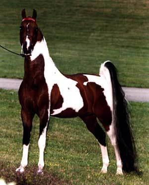 Ahh, saddlebreds...will own one asap.