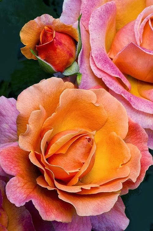 Tahitian Sunset Rose... What a lively color to warm up a home!!! If only I could purchase them locally!