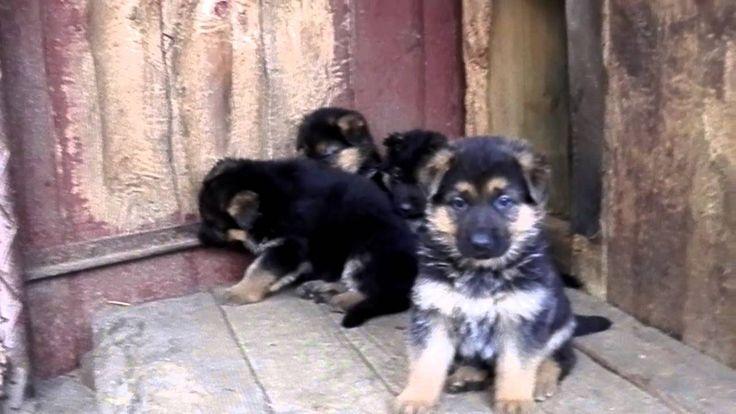 Cuties.Щенки немецкой овчарки, 1 месяц.Одесса.