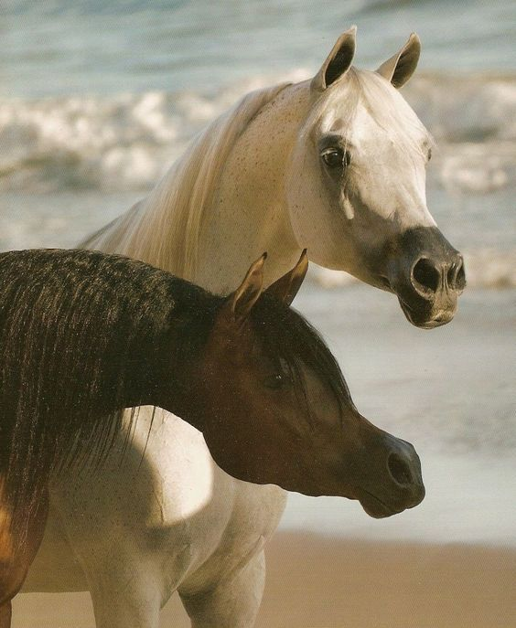 Pair of exquisite Arabian horses, Arabian Horse World 2007