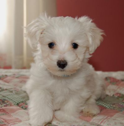 51 Best Maltipoo Haircuts Images On Pinterest Cute Puppies Little